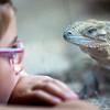Litlle girl looking at a rhinoceros iguana (Cyclura cornuta), Berlin zoo, Germany