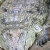 Nile Crocodile (Crocodylus niloticus), Berlin zoo, Germany