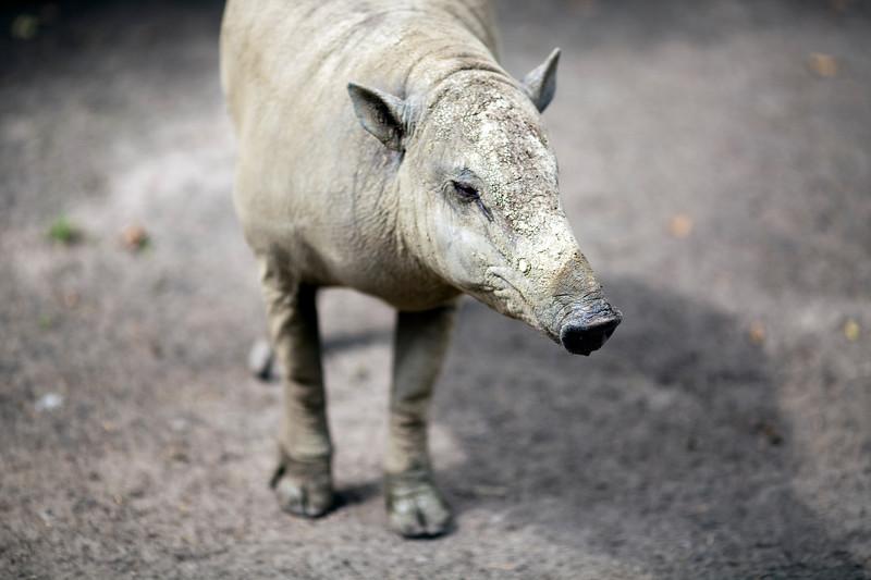 Babirusa, Berlin zoo, Germany