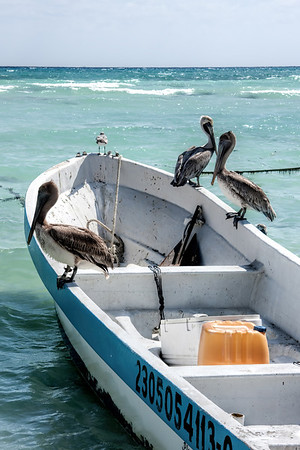Pelicans Resting on Boat