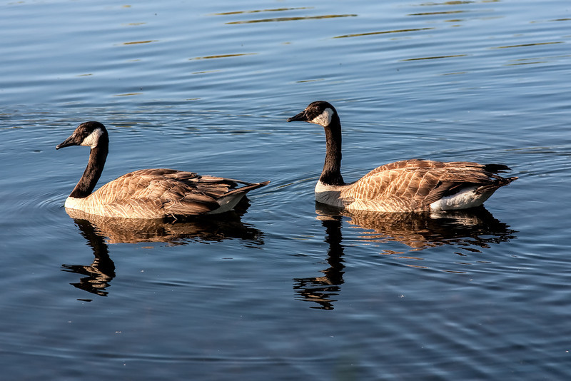 Canada Geese in Water