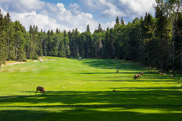 Elk on the Golf Course