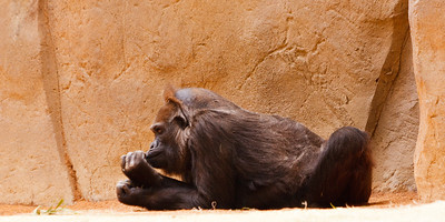 Ape at the Zoo