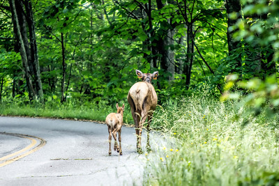 Mother Elk and her Calf