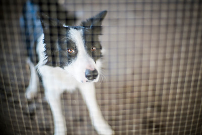 Border collie dog behind a fence, Spain.