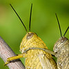 Couple of grasshoppers mating