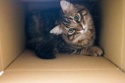 Unboxing a Norwegian Forest cat