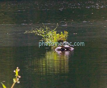 Turtles on log in Pond