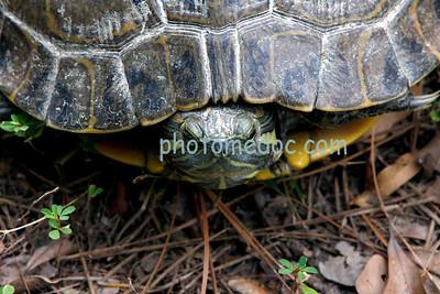 Shy Turtle