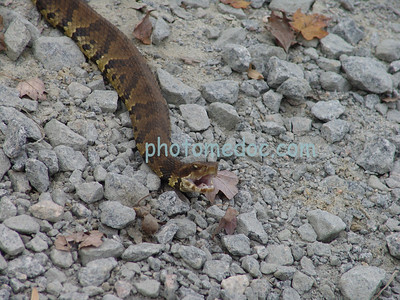 Snake with mouth open on rocks