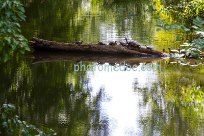 Family of Turtles on Log