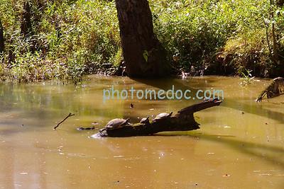 Trio of Turtles on Log
