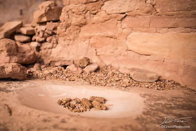 Dried maize in ancient pueblo grinding stone
