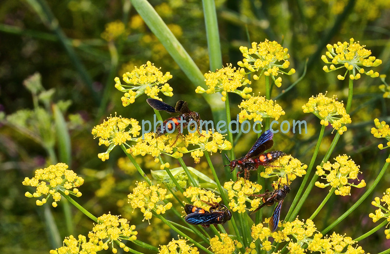 Wasps Feeding on Nectar of Yellow Flowers