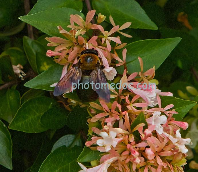 Bee on Peach Flower