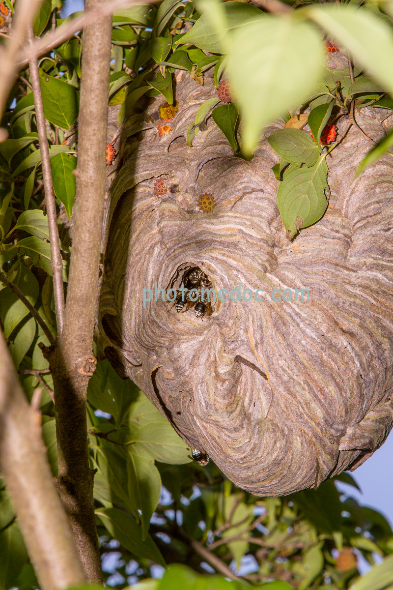 Bald-Faced Hornets Nest
