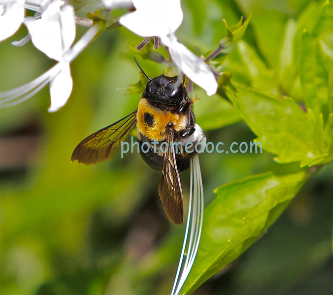 Bee Eating Nectur