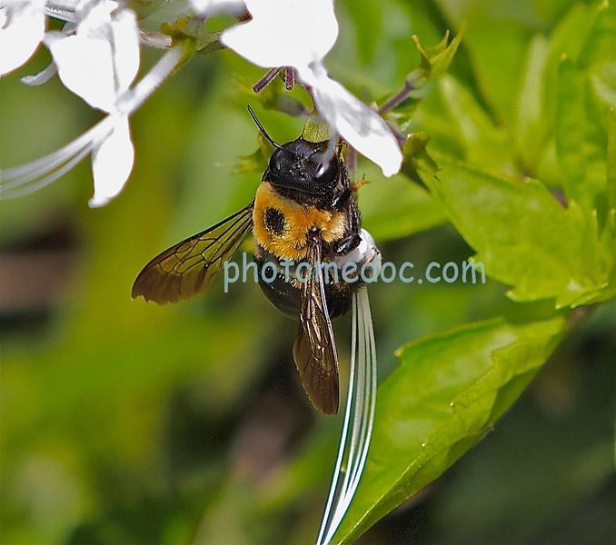 Bee on White Lavender Flower