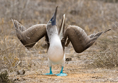 BLUE-FOOTED BOOBY - Sula nebouxii - San Cristobal, April 2018, Galapagos, Ecuador