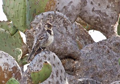 FLOREANA MOCKINGBIRD - Mimus trifasciatus - Floreana, April 2018, Galapagos, Ecuador