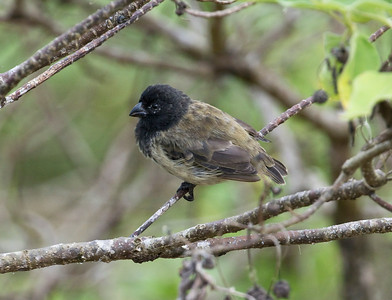 MEDIUM TREE FINCH - Camarhynchus pauper - Floreana, April 2018, Galapagos, Ecuador
