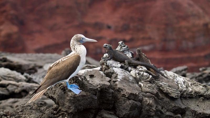 BLUE-FOOTED BOOBY - Sula nebouxii - with Marine Iguanas<br /> Santiago, Feb 2013, Galapagos, Ecuador