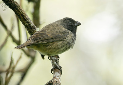 MEDIUM TREE FINCH - Camarhynchus pauper - Floreana, July 2018, Galapagos, Ecuador
