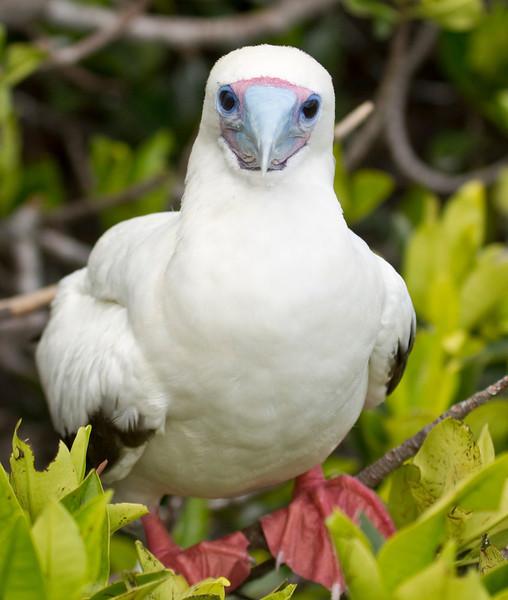 RED-FOOTED BOOBY - Sula sula -<br /> Adult, white morph, Genovesa, Feb 2013, Galapagos, Ecuador
