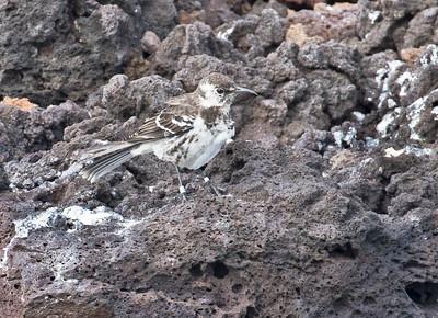 FLOREANA MOCKINGBIRD - Mimus trifasciatus - Floreana, July 2018, Galapagos, Ecuador