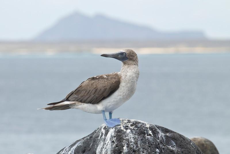 BLUE-FOOTED BOOBY - Sula nebouxii -<br /> Isla Lobos, San Cristobal, 28 Jan 2014, Galapagos, Ecuador