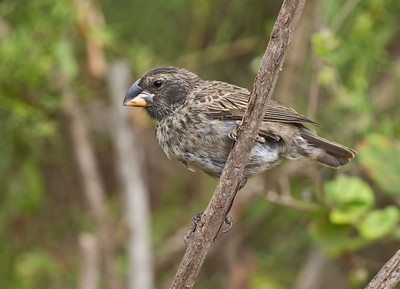 LARGE GROUND FINCH - Geospiza magnirostris - Santa Cruz, May 2018, Galapagos, Ecuador