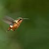 GORGETED WOODSTAR - Chaetocercus heliodor - female -<br /> San Isidro, 12 July 2014, Napo, Ecuador