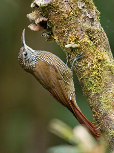 MONTANE WOODCREEPER - Lepidocolaptes lacrymiger - San Isidro, November 2018, Napo, Ecuador