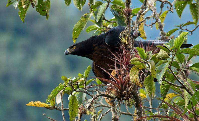 BLACK-AND-CHESTNUT EAGLE - Spizaetus isidori -<br /> Rio Quijos, 9 September 2015, Baeza, Napo, Ecuador