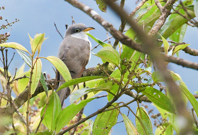 YELLOW-BILLED CUCKOO - Coccyzus americanus - Cocodrilos, April 2018, Napo, Ecuador