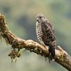 BROAD-WINGED HAWK - Buteo platypterus -<br /> San Isidro, 19 Dec 2013, Napo, Ecuador