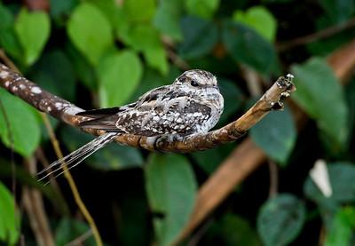 LADDER-TAILED NIGHTJAR - Hydropsalis climacocerca - Rio Napo, November 2018, Orellana, Ecuador