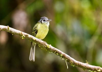 MARBLE-FACED BRISTLE-TYRANT - Pogonotriccus ophthalmicus - San Isidro, November 2018, Napo, Ecuador