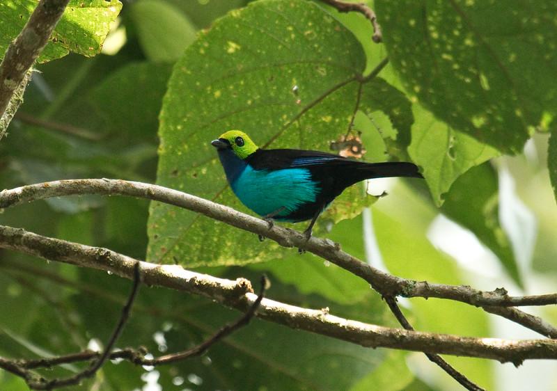 PARADISE TANAGER - Tangara chilensis -<br /> WildSumaco, August 2015, Napo, Ecuador