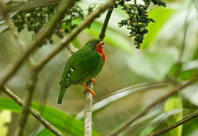 FIERY-THROATED FRUITEATER - Pipreola chlorolepidota - male - Sumaco, 16 July 2014, Napo, Ecuador