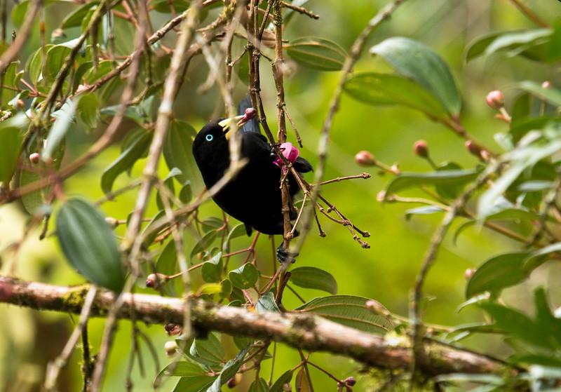 SUBTROPICAL CACIQUE - Cacicus uropygialis -<br /> Baeza, 30 January  2015, Napo, Ecuador