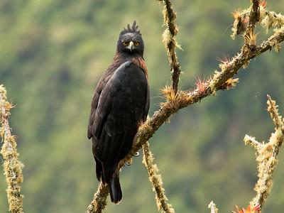 BLACK-AND-CHESTNUT EAGLE - Spizaetus isidori - Rio Quijos, 9 September 2015, Baeza, Napo, Ecuador