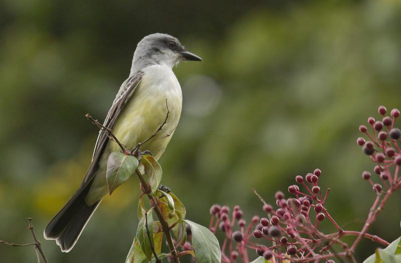 SNOWY-THROATED KINGBIRD - Tyrannus niveigularis -<br /> Quito, Botanical Garden, 6 March 2014, Pichincha, Ecuador