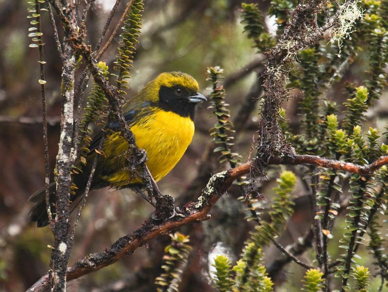 MASKED MOUNTAIN-TANAGER - Buthraupis wetmorei -<br /> Papallacta, 29 January  2015, Napo, Ecuador
