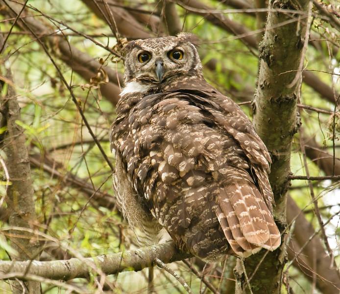 GREAT HORNED OWL - Bubo virginianus -<br /> Parque Guapulo, July 2015, Quito, Ecuador