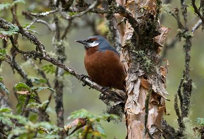 GIANT CONEBILL - Oreomanes fraseri - Papallacta Pass, April 2018, Napo, Ecuador