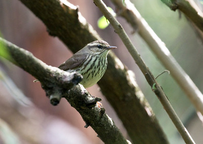 NORTHERN WATERTHRUSH - Parkesia noveboracensis - Quito Botanical Garden, Nov 2017, Pichincha, Ecuador