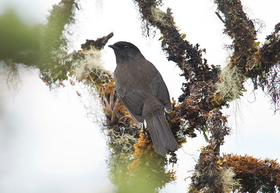 CHESTNUT-BELLIED COTINGA - Doliornis remseni - Cerro Mongus, October 2015, Carchi, Ecuador