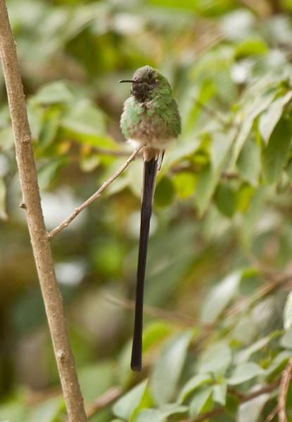 BLACK-TAILED TRAINBEARER - Lesbia victoriae - male -<br /> Jardin Botanico, Parque Carolina, 2 July 2012, Quito, Ecuador