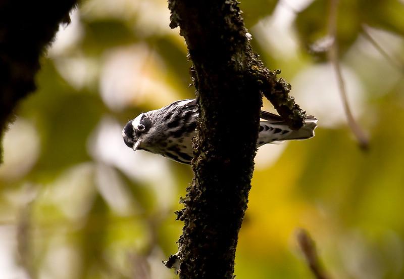 BLACK-AND-WHITE WARBLER - Mniotilta varia - male -<br /> Jardin Botanico, Oct 2011, Quito, Ecuador